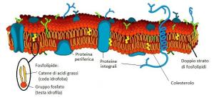 Membrana-cellulare(1)