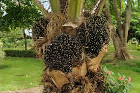 olio palma pianta