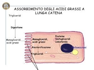 burro assorbimento enterocita2