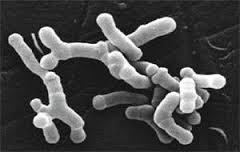 prebiotici-bifido-longum